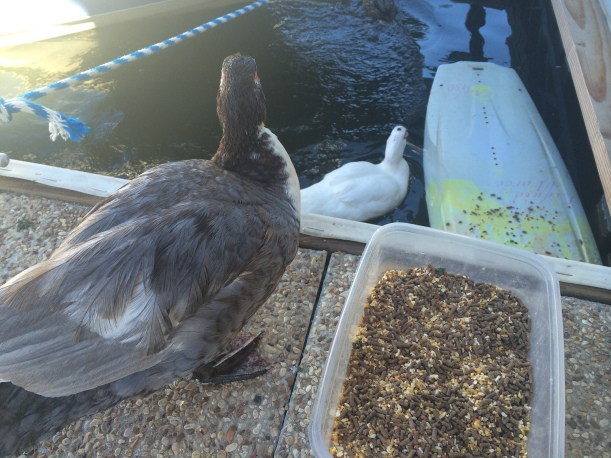 There are 2 pet ducks at the Pleasure Point Marina. They let you pet them and are seriously the cutest!